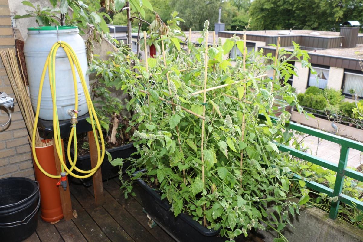 Mit Pflanzen Gegen Mücken Pflanzen Wissen