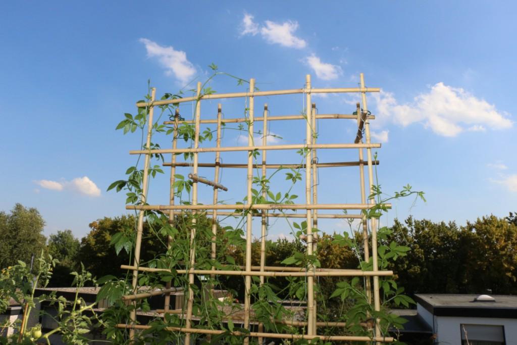Hier wird der Jiaogulan in das Bambusgestell geführt